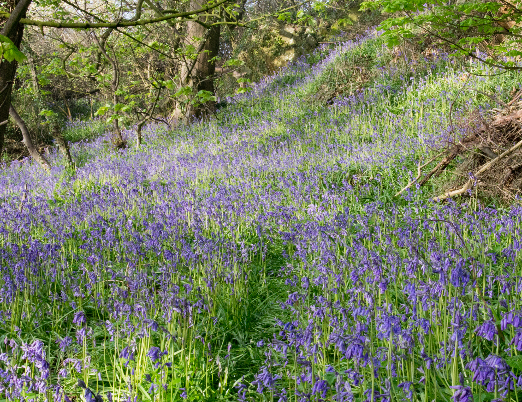 Hopeward Bluebells 29 Apr 2014