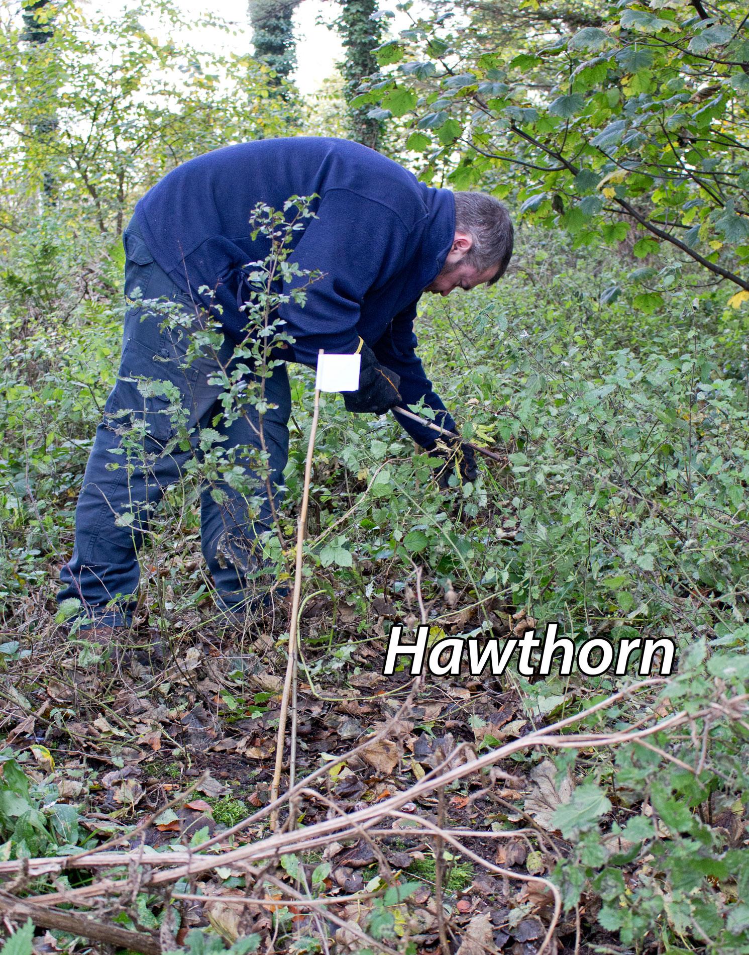 Hawthorn-1-txt