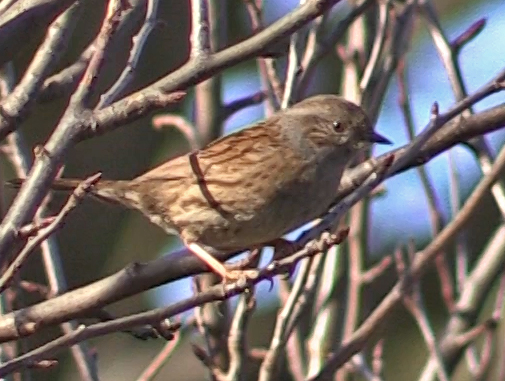 Dunnock Hopeward Wood