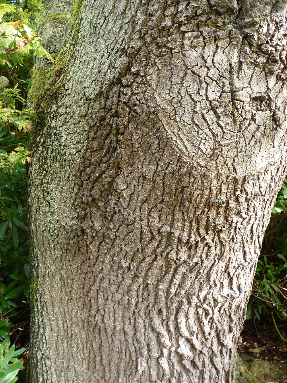 Oak-trunk-JD.jpg