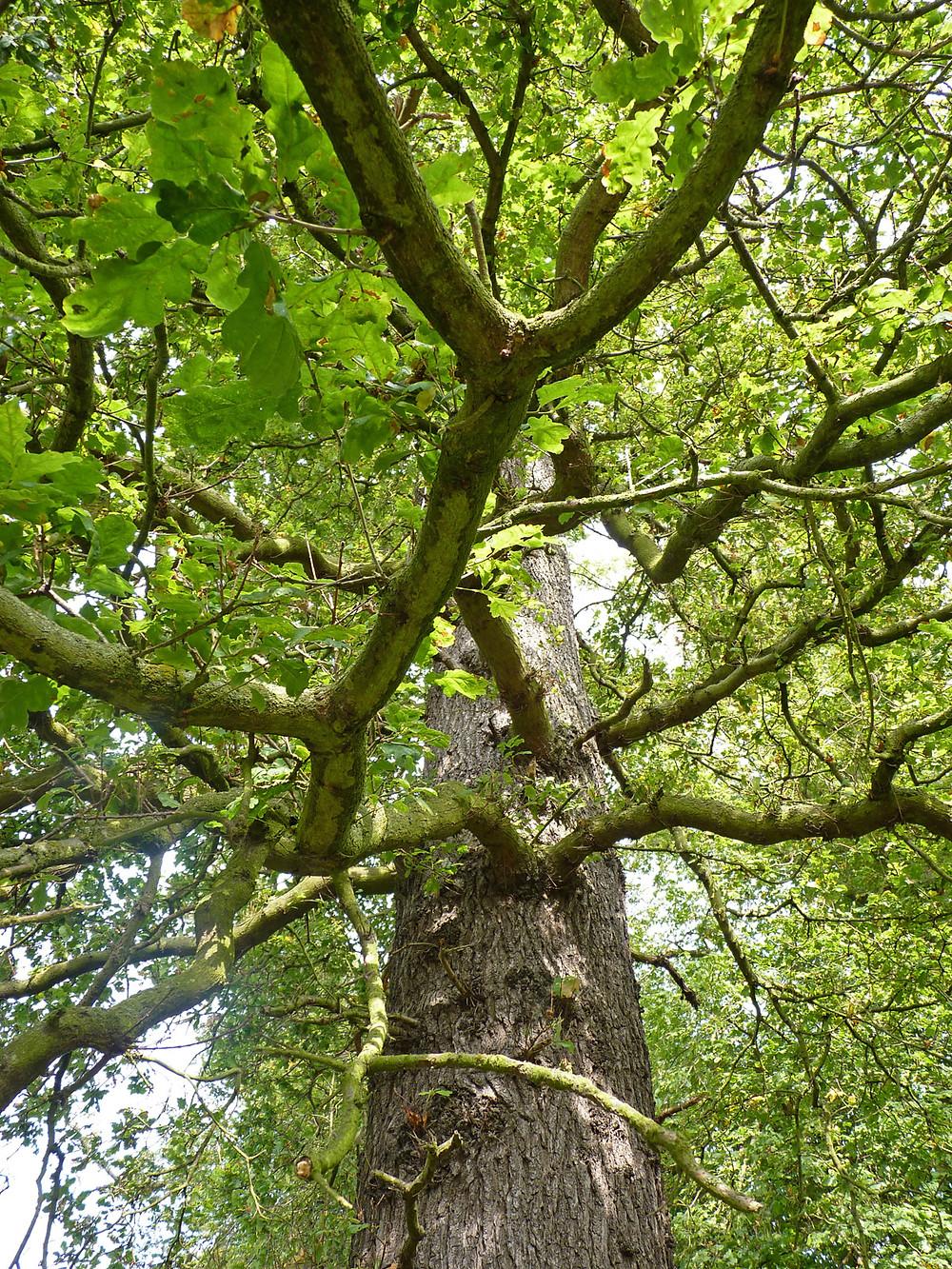 Oak-Braefoot-2.jpg