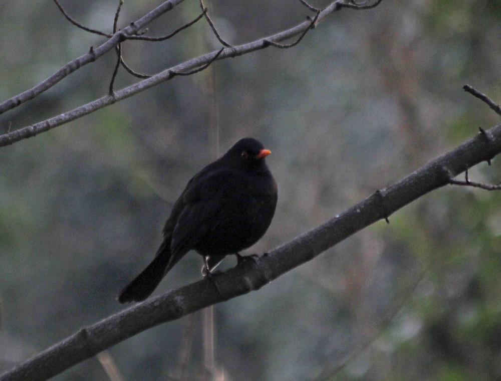 Blackbird-BHW.jpg