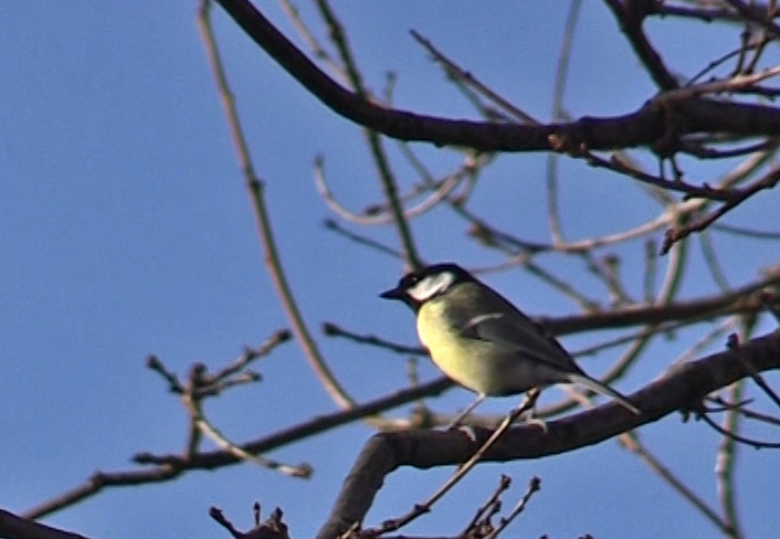 Greatt Tit Hopeward Wood