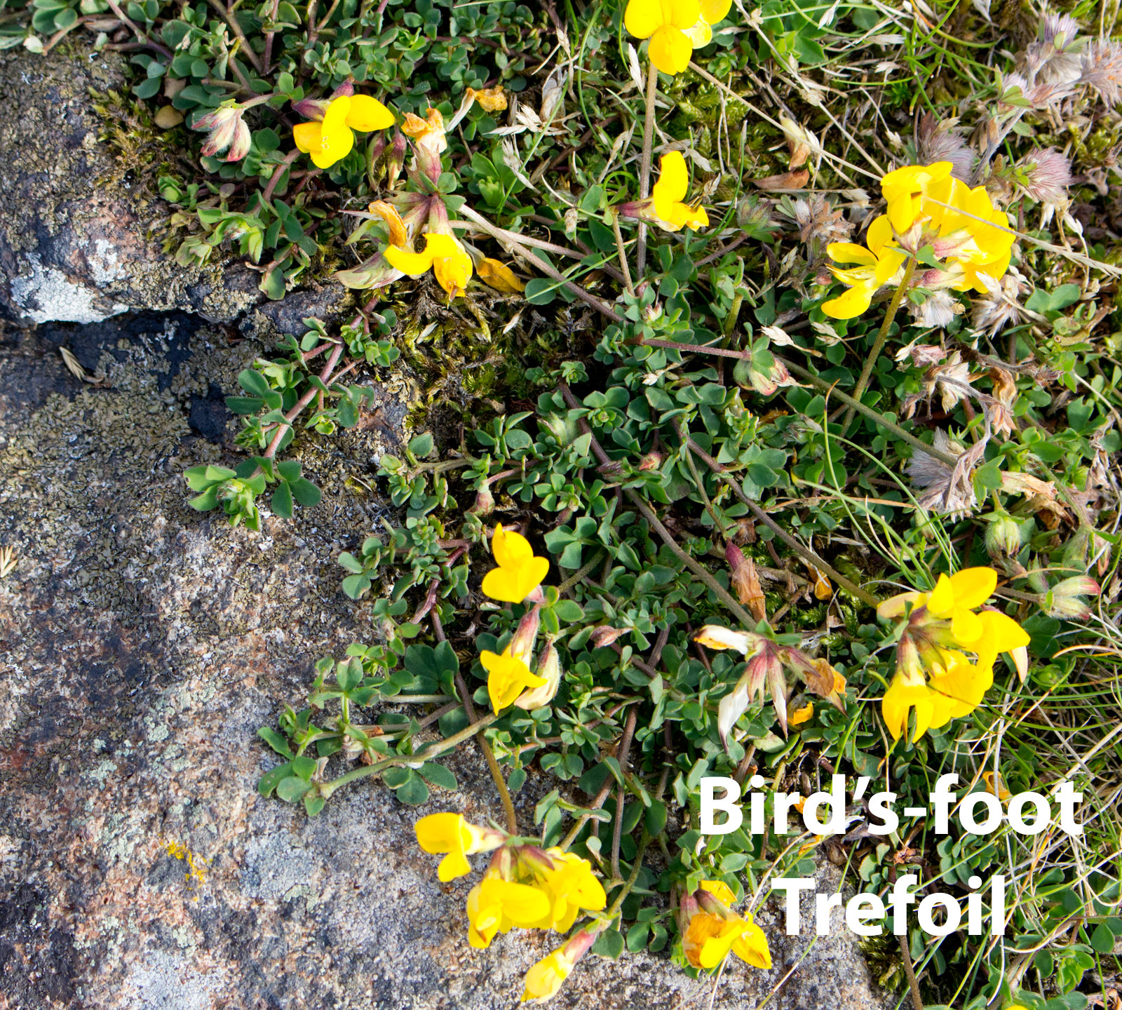 Bird's-foot-Trefoil-DP