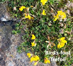 Bird's-foot-Trefoil-DP