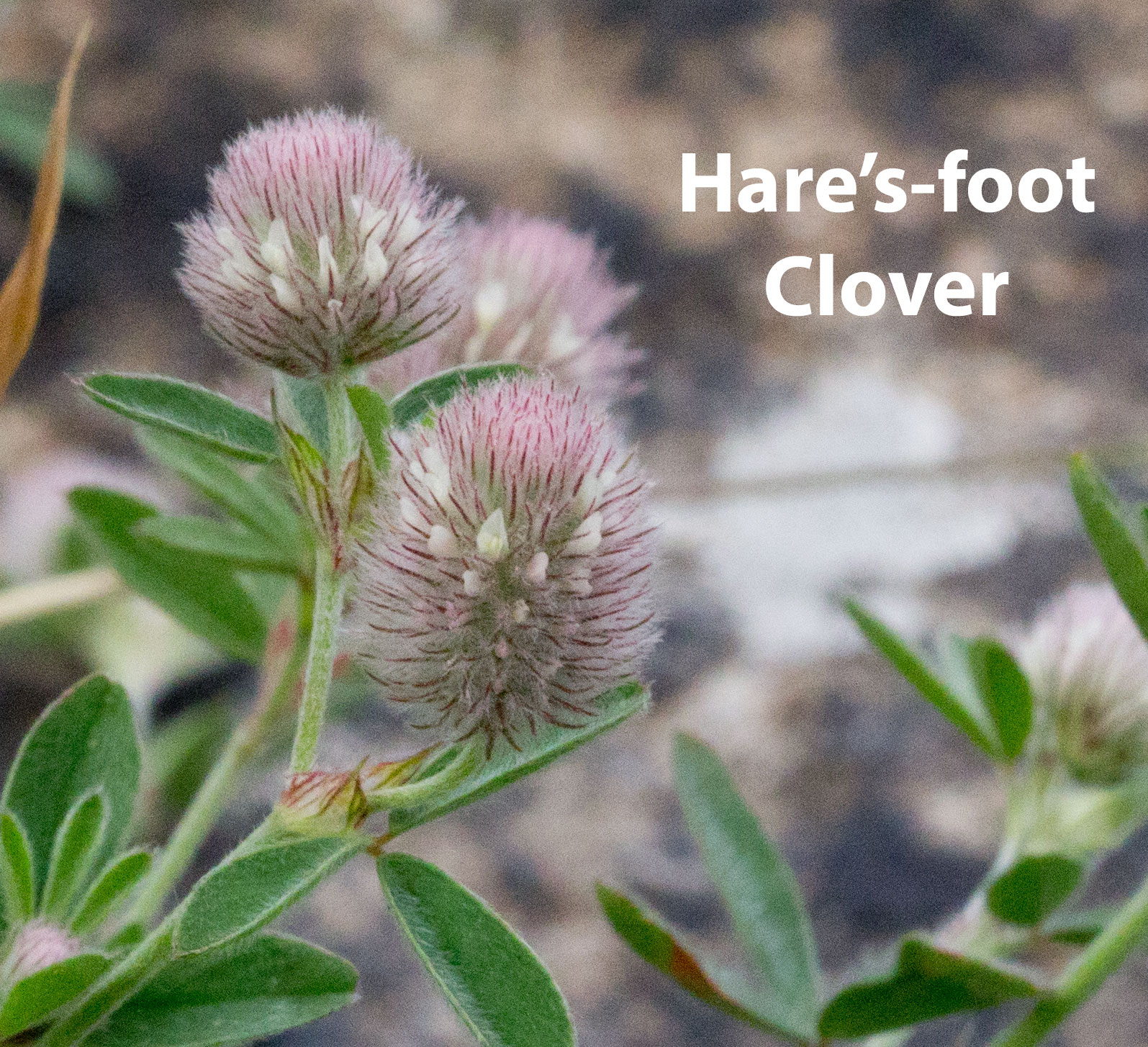 Hare-foot-Clover-2