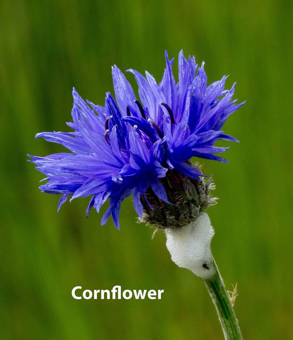 Cornflower-text.jpg