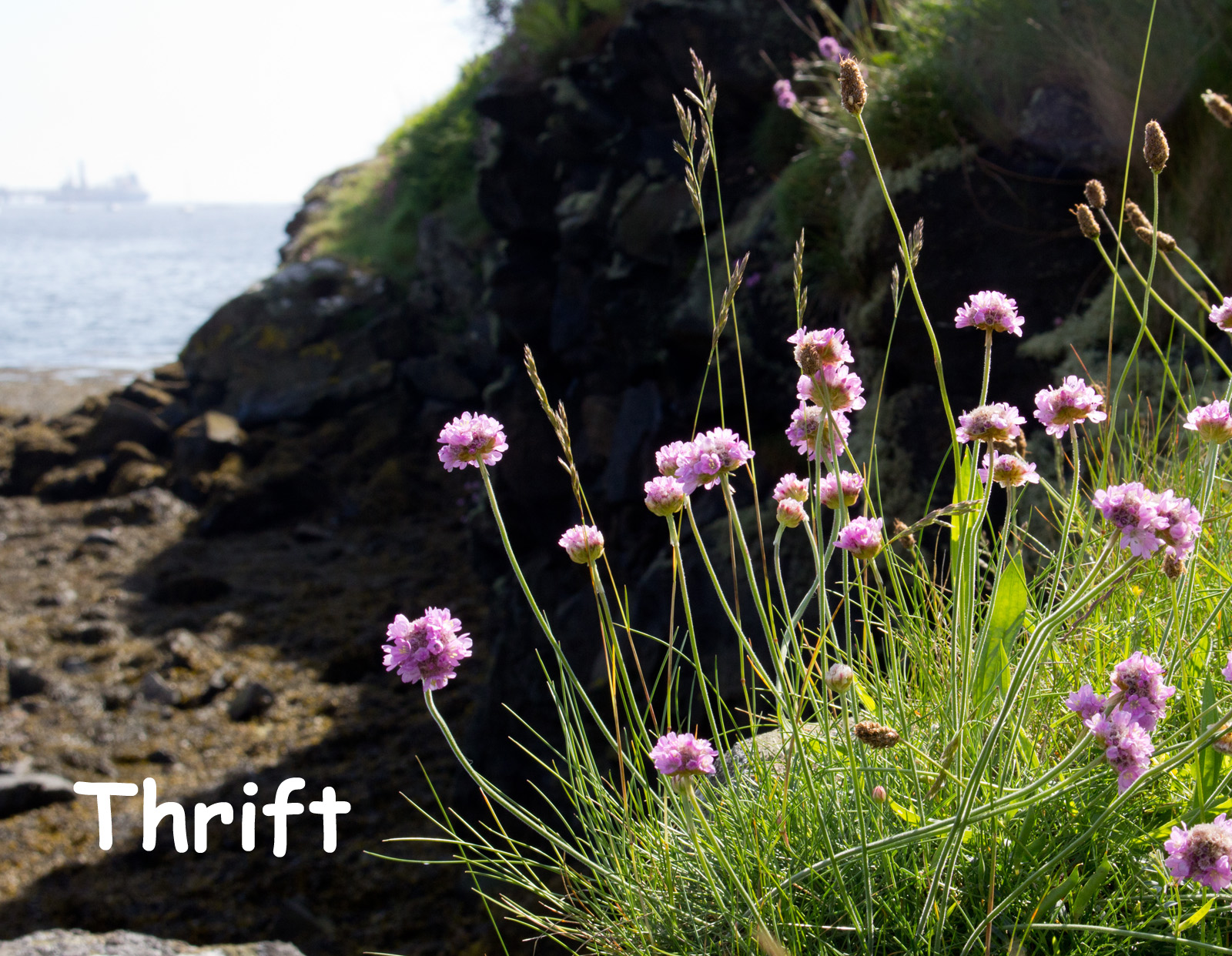 Sea Thrift Downing Point text