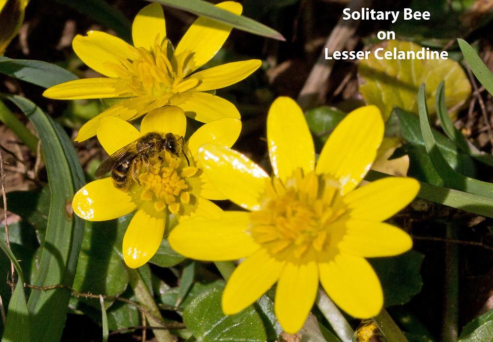 Solitary-bee-Celandine-txt.jpg