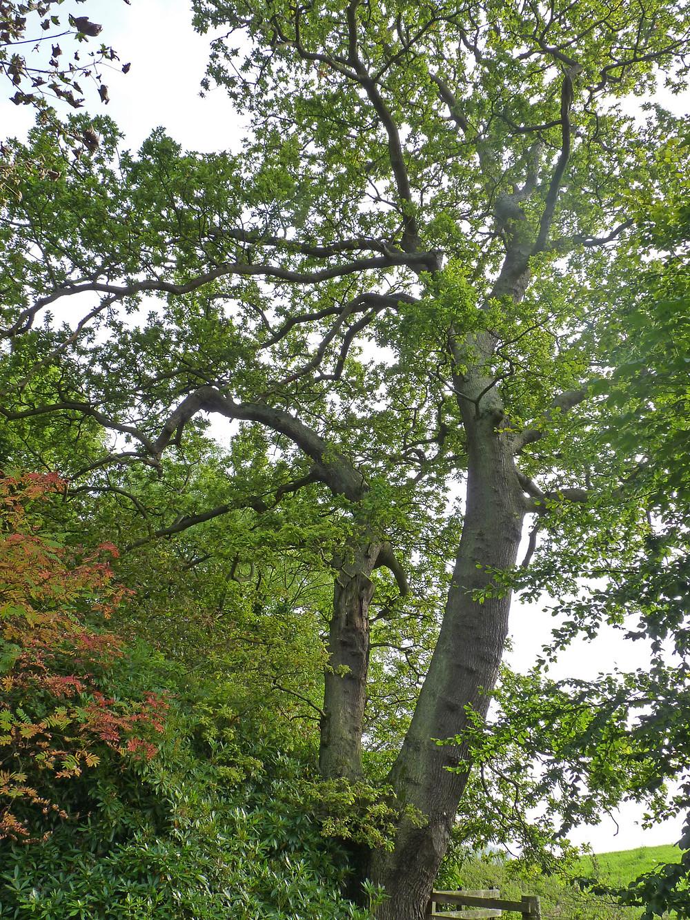 Oak-Braefoot.jpg