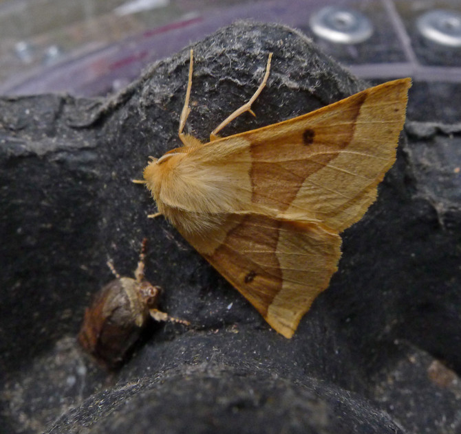 Moth Trapping 1/2 August