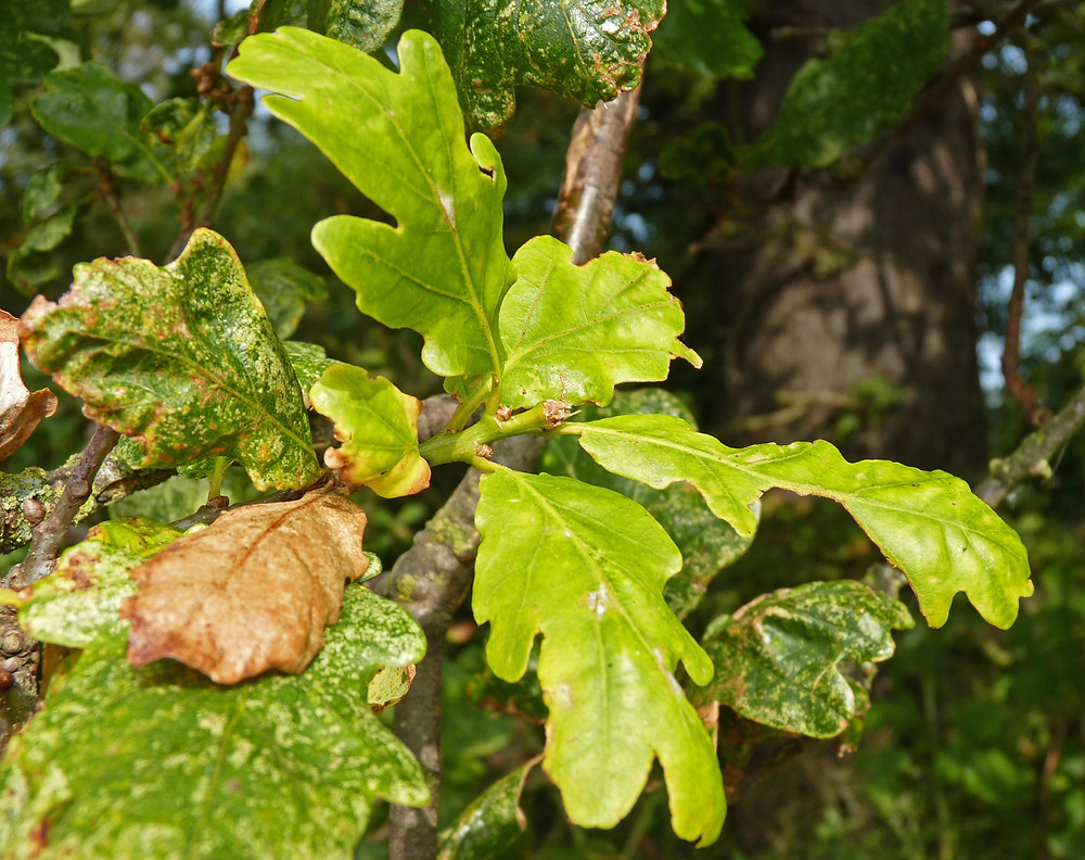 Oak-leaves-JD.jpg