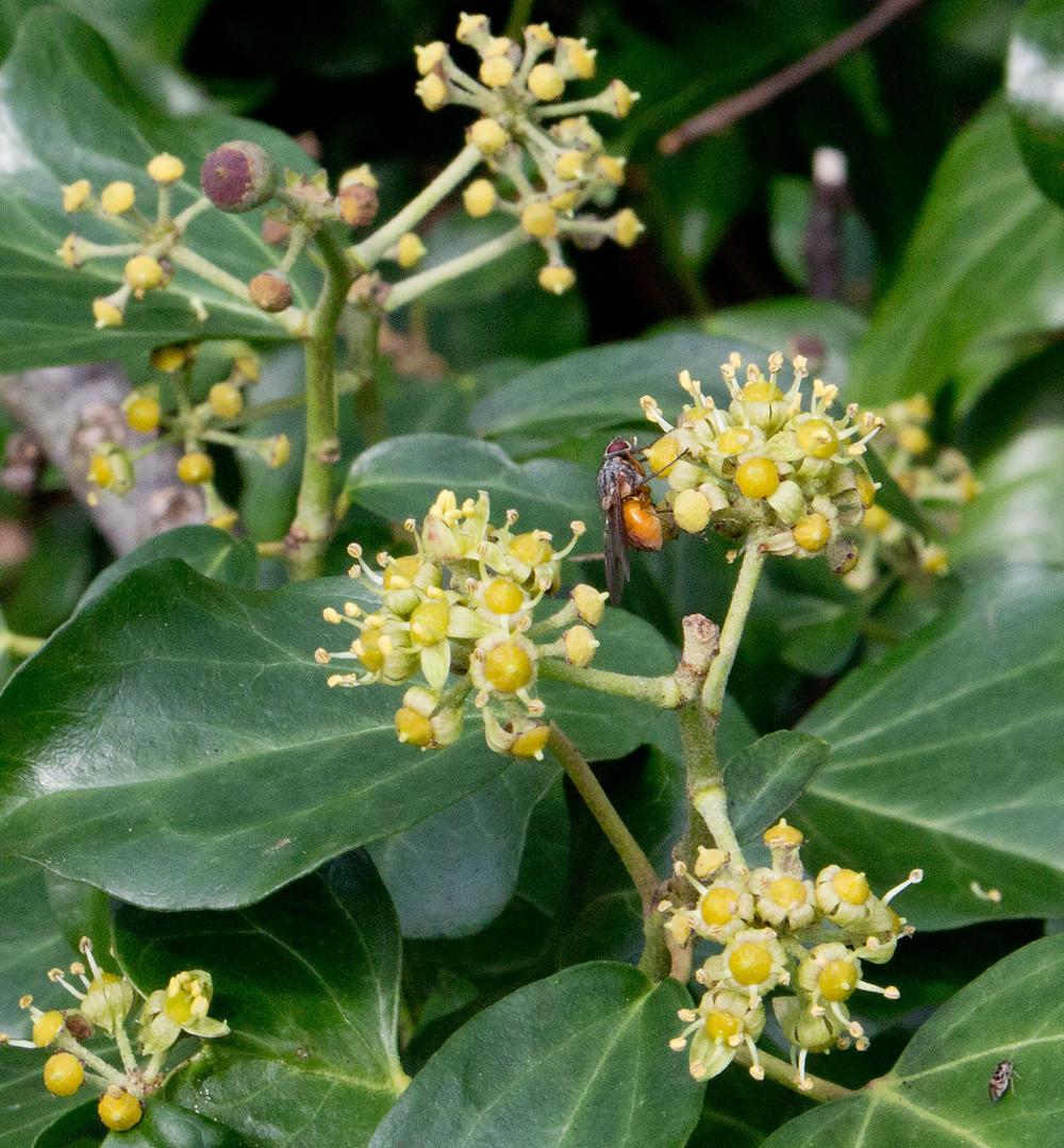Ivy-Flower-HW.jpg
