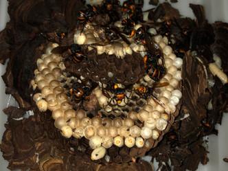 埼玉県春日部市米島にてスズメバチの巣を駆除