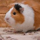 Guinea Pigg.jpg