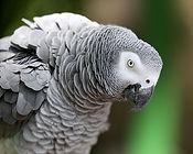 African Gray.jpg
