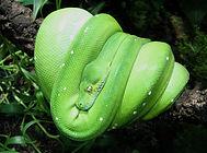 Green Tree Python.jpg