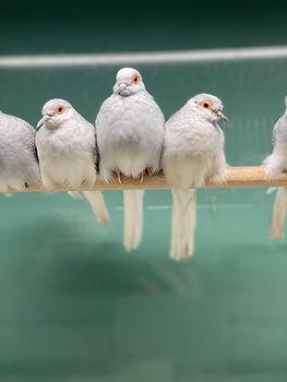 Diamon Dove.jpg
