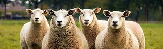 sheep strip.jpg