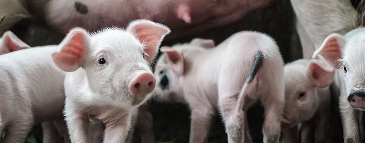 pig strip.jpg