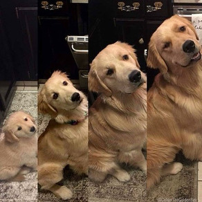 This is how a golden retriever grows up!!!