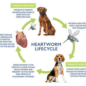 Heartworm lifecycle