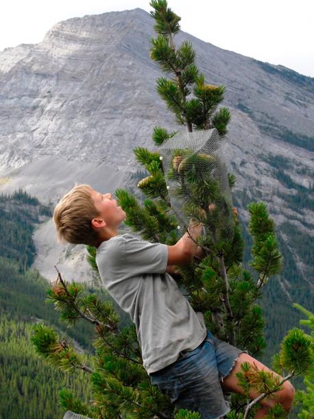 Limber Pine Outreach and Restoration