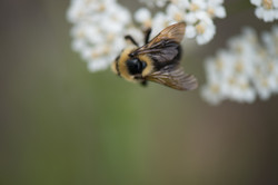 Common bumblebee