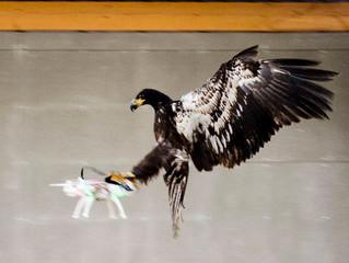 Scotland Yard avalia usar águias para interceptar drones