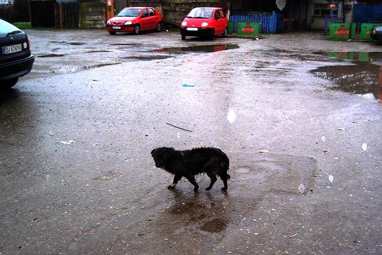 Hunde aus Romanien