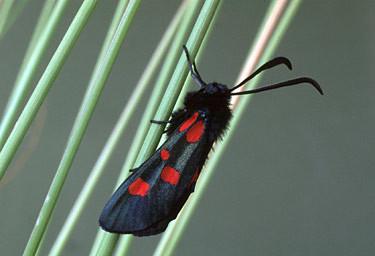 Scots Moths - Burnet Moth