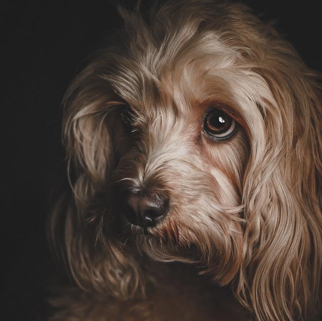 cavapoo portrait