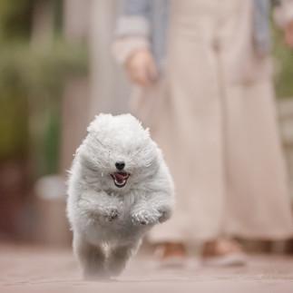 bolognese white dog running