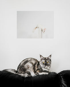 Maine Coon cat and chinchilla