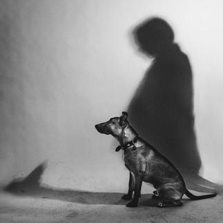 german shepherd shadow