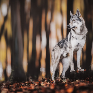 wolfdog portrait woods autumn