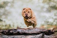 Shar-pei jumping