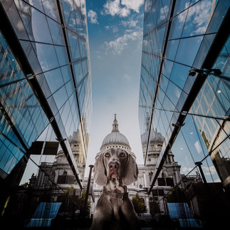weimaraner london saint pauls cathedral