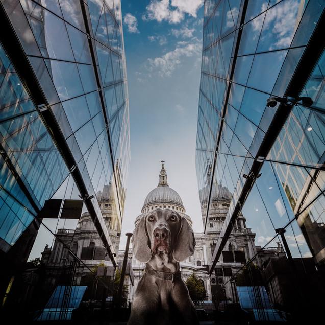 weimaraner london saint pauls cathedral