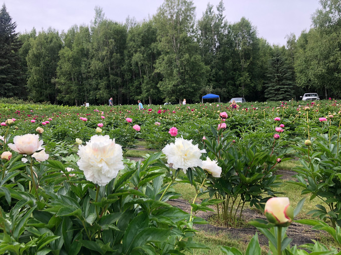 Guests Enjoying the Peony Field, 2020
