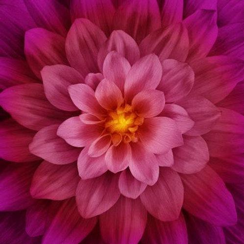 Hoffman Dream Big fushia flower panel