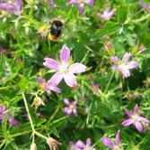 Bee & Geranium.jpg