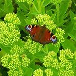 Butterfly & sedum.jpg