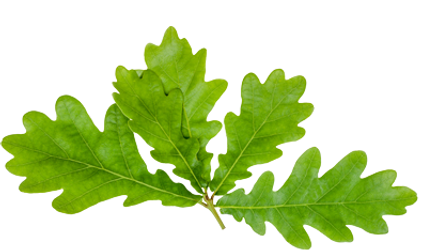 Oak-leaves-isolated-on-white-top-view..p