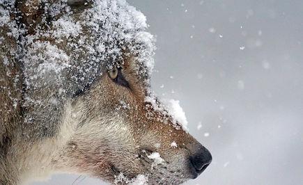 wolf-1975823_1920.jpg