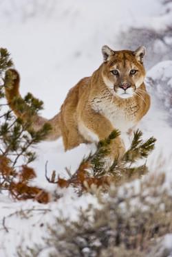The Mountain Lion Habitat