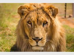 LionNewMedium_83350