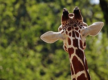 giraffe-1341638_1920.jpg