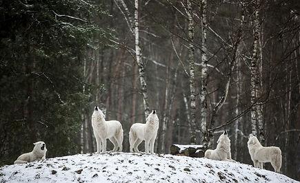 polarwolf-4686720_1920.jpg