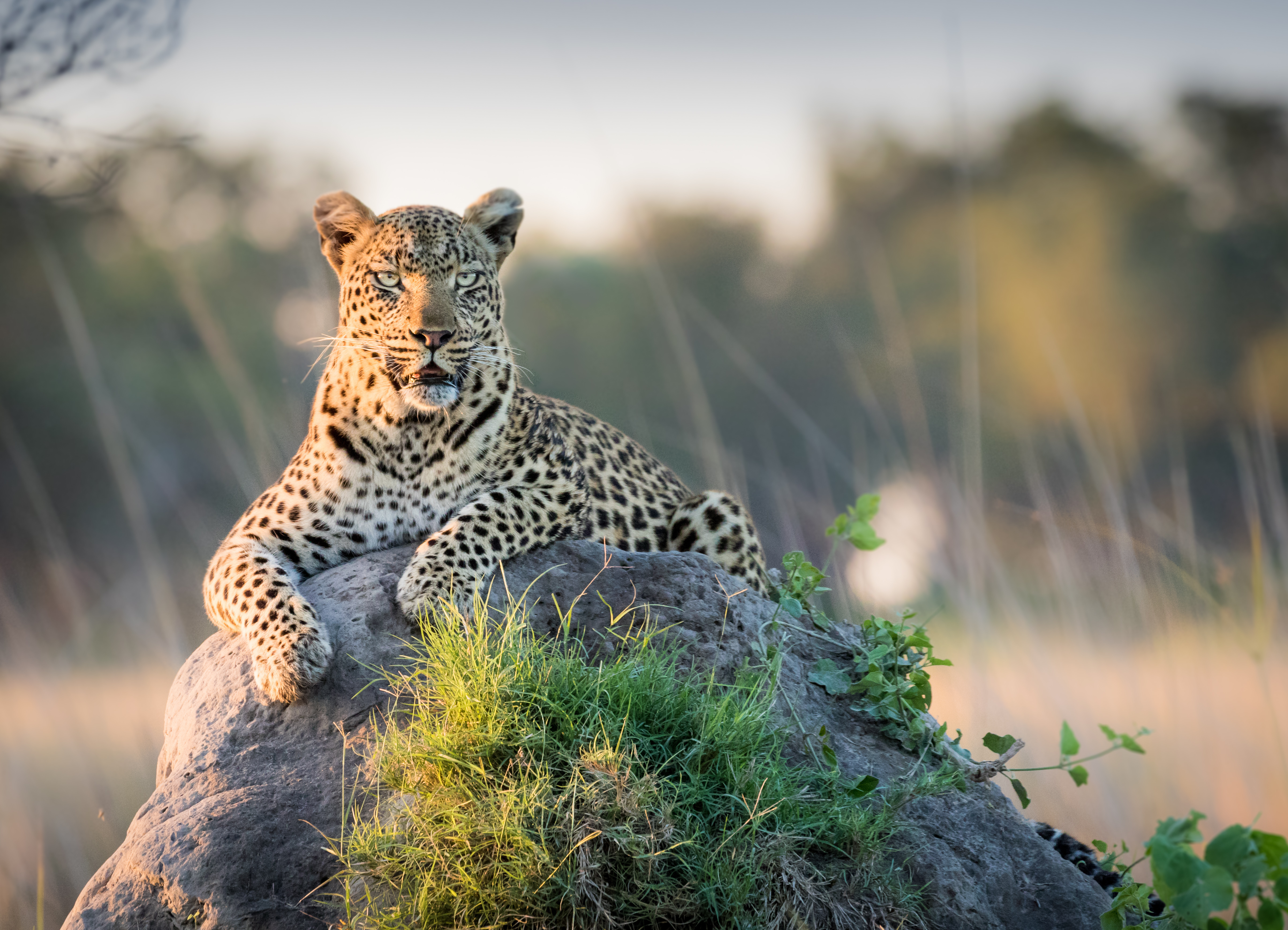 A female leopard lies on top of a termit